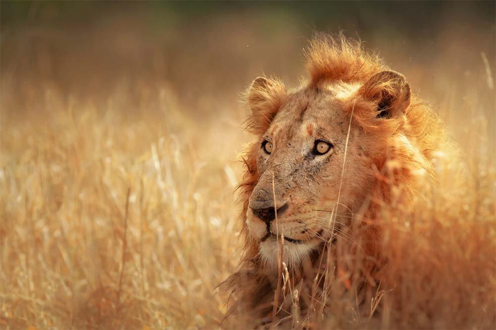 lion-parc-kruger