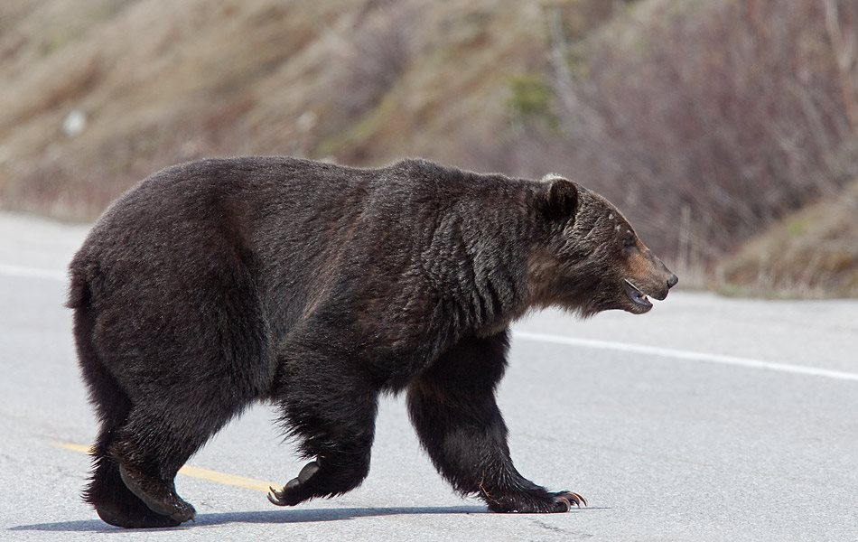 IMG_5392-Grizzly-crossing-road