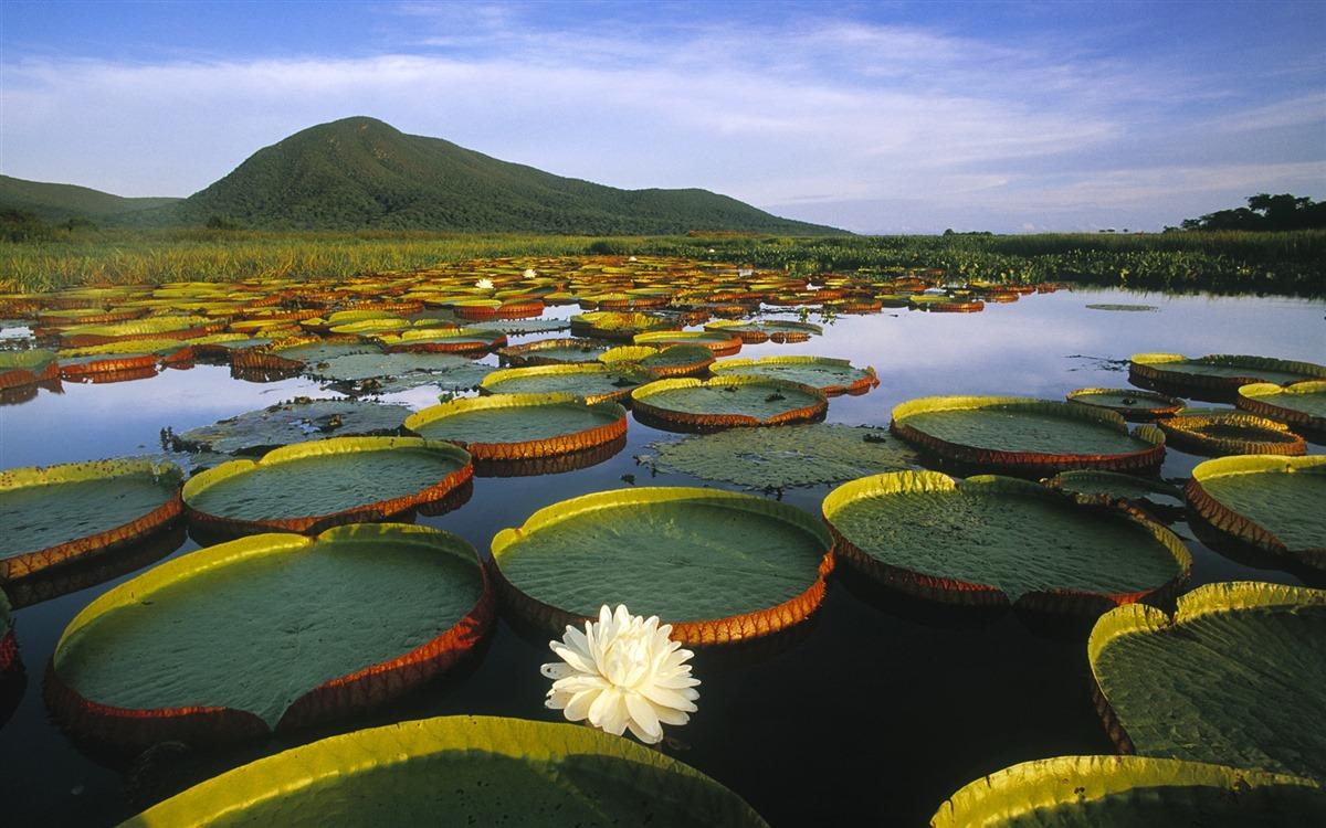 Vitoria-Regia-Water-Lily-at-Pantanal-Matogrossense-Brazil_1920x1200