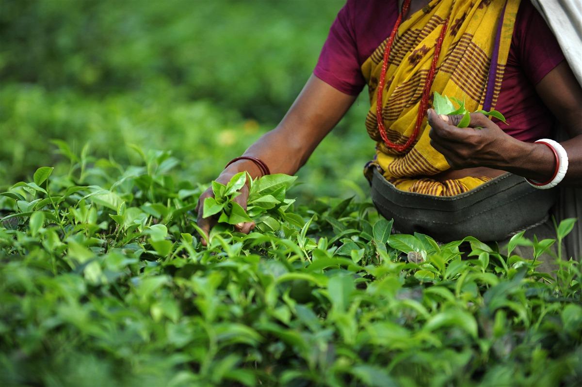 1342688249_Darjeeling-tea
