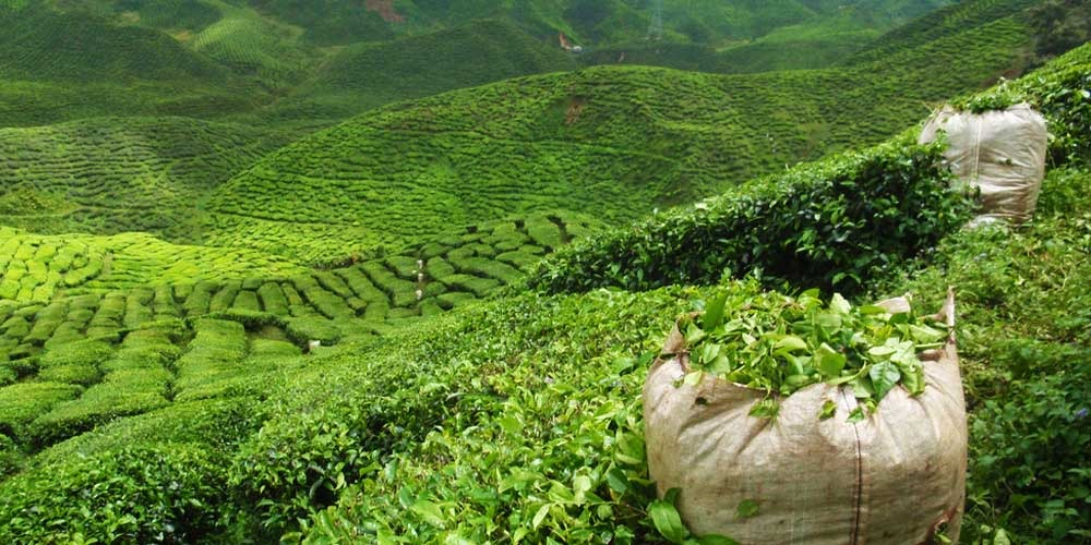 The-abode-of-Tea-Darjeeling-India