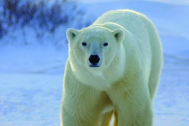 les-ours-polaires-de-churchill-5026