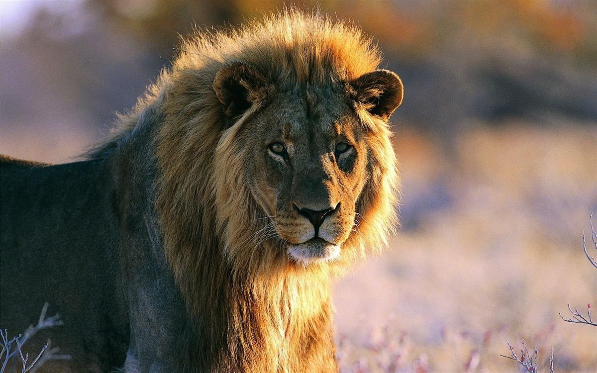 Fond-ecran-lion-africain-6